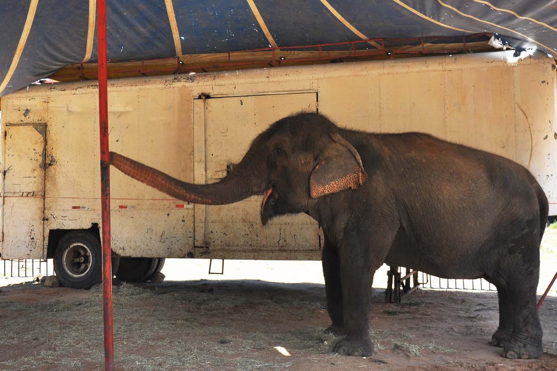Photo of Elefanta Lady sofre maus-tratos e corre risco de morte na Bica, diz laudo